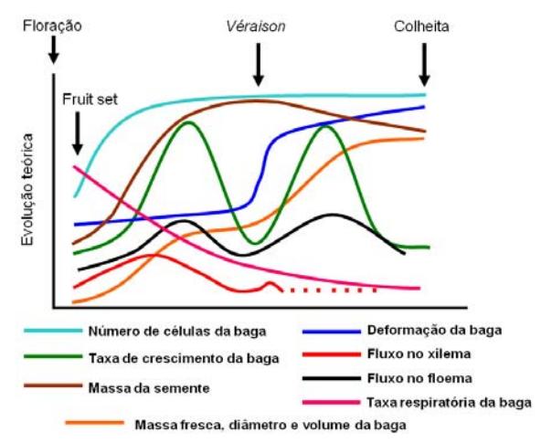 Figura 1. Alterações físicas e estruturais durante o desenvolvimento das bagas.